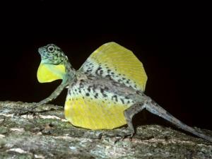 Un lézard volant, digne représentant des Draco. (Vu de profil, avec ses « ailes » en position oblique)
