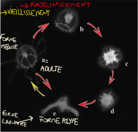 le cycle de vieillissement /rajeunissement de turritopsis