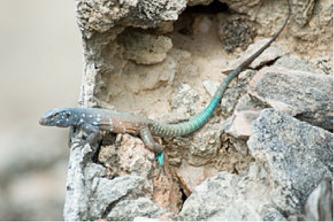 les lézards fouette queues: des femelles qui se reproduisent seules pour faire d'autres femelles. pas besoin de males, juste de la stimulation entre copines.