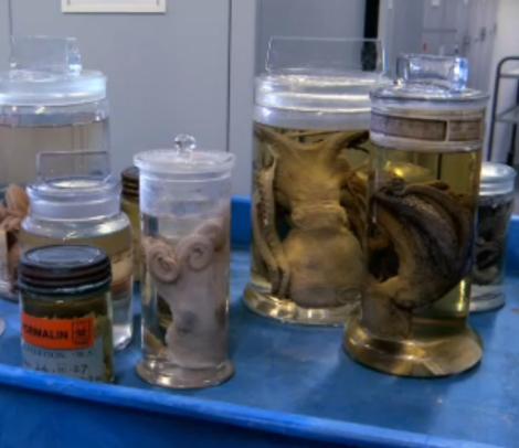 des organismes marins conservés dans le formol se dégradent, perdent leurs couleurs translucides