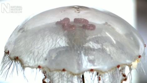 une méduse de verre Blaschka