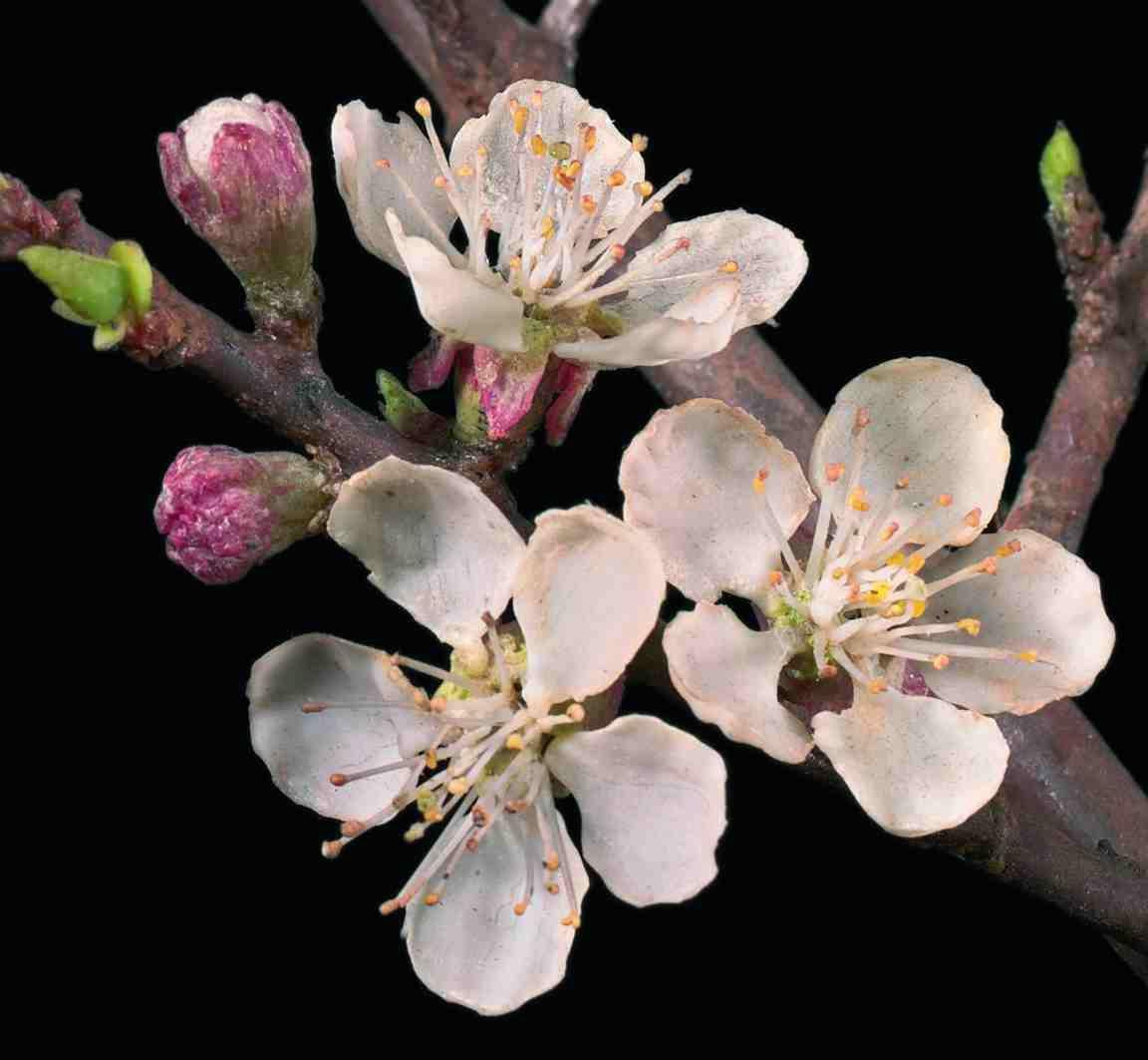 cerisier en fleurs de verre, mon préféré