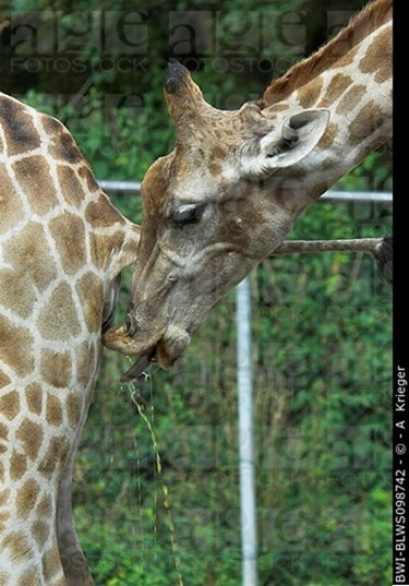 03-Girafe-Urine_thumb