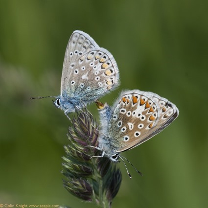 16-mating_Polyommatus_thumb