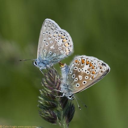 16-mating_Polyommatus_thumb